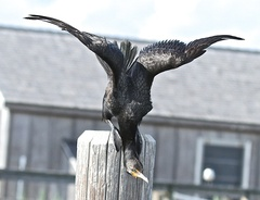 7-15%20cormorant%20stretching%20wings.jpg