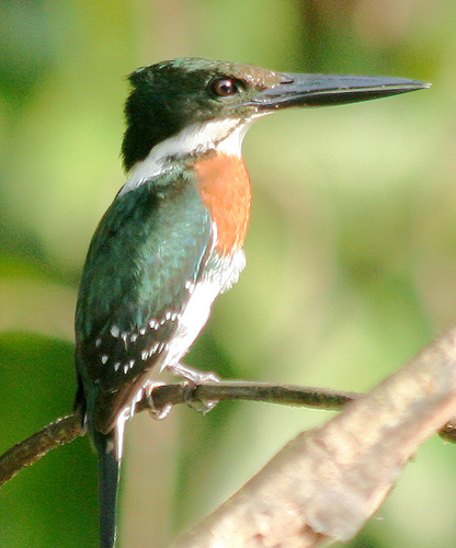 Kingfisher%20%28Green%20Kingfisher%202%29.jpg