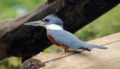 Kingfisher%20%28Ringed%20Kingfisher%202%29.jpg