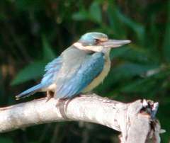 Kingfisher%20%28Sacred%20Kingfisher%202%29.jpg