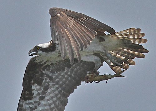 Osprey%20%28Bringing%20home%20dinner%29.bmp