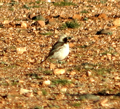 Wheatear%20%28Red-rumped%20Wheatear%202%29.jpg