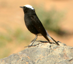 Wheatear%20%28White-crowned%20Black%20Wheatear%203%29.jpg